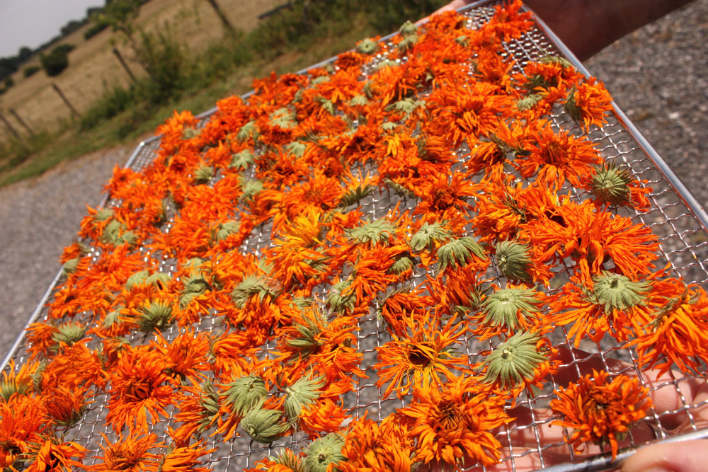 organic calendula flowers drying Lyonsleaf Farm