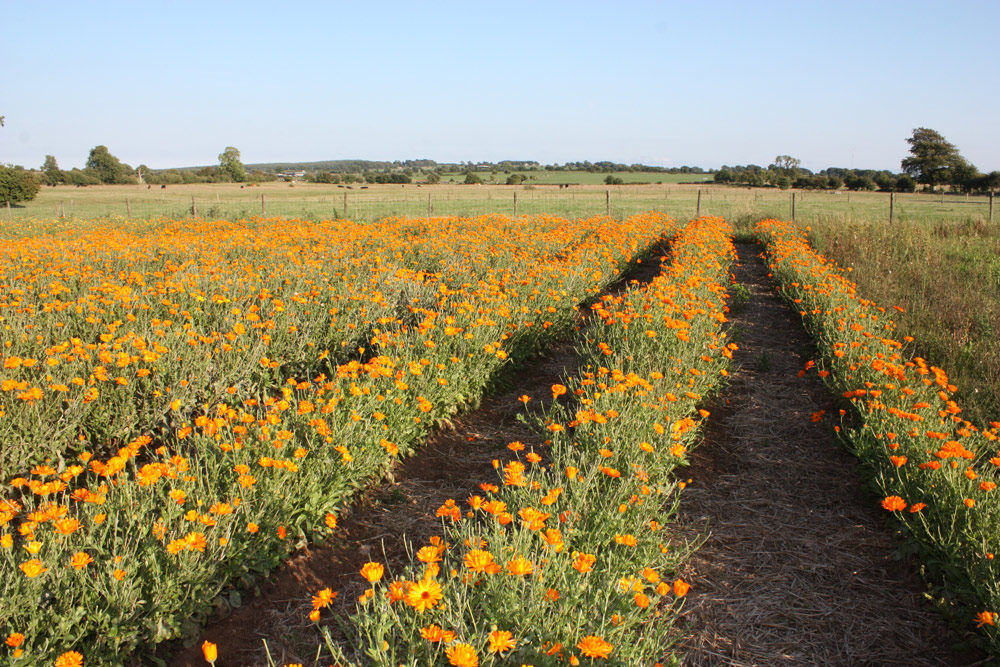 organic calendula flowers growing lyonsleaf farm