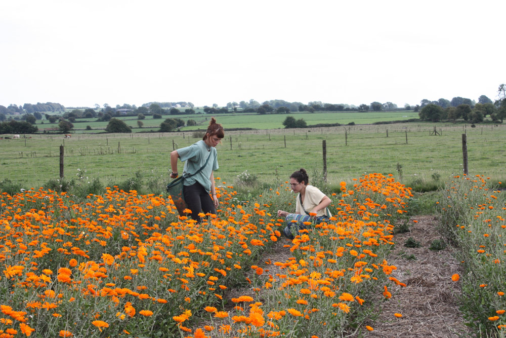 picking organic calendula flowers lyonsleaf farm